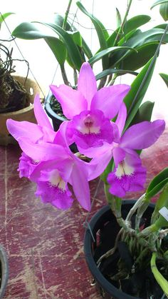 Shade Garden Flowers And Decor Ideas Orqudeas Y Lirios. Exotic Plants, Exotic Flowers, Beautiful Flowers, Orchid Show, Orchid Care, Orchid Varieties, Orchid Leaves, Orquideas Cymbidium, Orchid Seeds