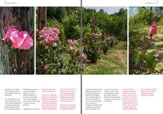 Ultimissime dall'orto: le #rose nelle #vigne su #Blossomzine #vineyard #Spring