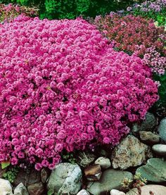 Wild thyme plant, spreads rapidly. This ground cover plant fills the air with a herbal scent. Fast growing, resistant, requires little care!