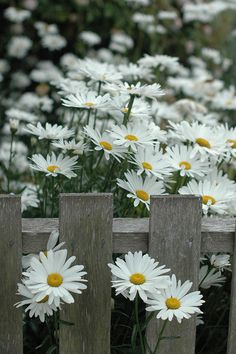 Great photo of shasta daisies along a picket fence.