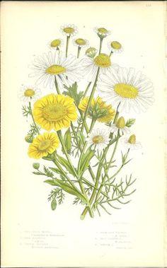 Antique Color Anne Pratt Flower Plant Print Botanical Plate 128 c.1850