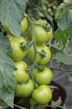 Sind grüne Tomaten giftig?