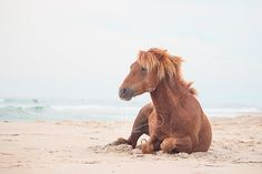 """Beach Hair"" ~ From the 'Untamed Beauties' series by Natalie Buck Wild Assateague Ponies  Natalie Buck Photography   #nataliebuckphotography #wild #horse #photography #photographer #Connecticut #Maryland #Assateague #Pony #ponies #wildhorsephotography #professiona #beach #ocean"