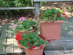DIY Home Gardening Tips  For Growing Great Geraniums!