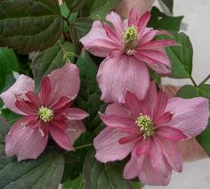 """Clematis montana """"Broughton Star"""" : Latin Name montana Colour Pink Pruning No Pruning - Group 1 Aspect Sun or Part Shade Height 15 - 20ft (4.5 - 6m) Flowering May and June Species Clematis - Montana AGM. SCENTED"""