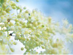 Flor de sauco. Flocere entre abril y junio Snack Recipes, Snacks, Elderflower, Fruit, Elder Flower, Flowers, Shrubs, June, Snack Mix Recipes