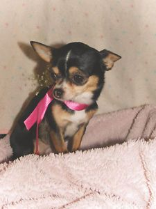 Kijiji - Buy, Sell & Save with Canada's Local Classifieds Chihuahua, Dogs And Puppies, Adoption, Animals, Animales, Animaux, Chihuahua Dogs, Chihuahuas, Animal