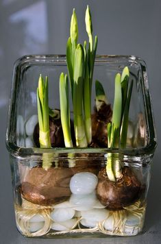 Holiday Garden Gifts: How To Force Bulbs, Amaryllis and Paperwhites Garden Plants, Indoor Plants, Garden Bulbs, Organic Gardening, Gardening Tips, Gardening Vegetables, Decoration Plante, Pot Plante, Deco Floral