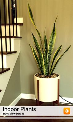 nurserylive provides wide range of natural plants and accessories online in india. We delivers nursery plants, seeds, bulbs, pebbles, pots & planters across all major cities in India Best Indoor Plants, Indoor Planters, Planter Pots, Planter Ideas, Unique Plants, Large Plants, Plant Shelves, Plant Nursery, Snake Plant