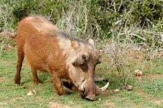Warthog eyeballing you while eating grass Warthog eyeballing you while eating grass in the field.