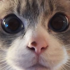 What big eyes you have Cute Puppies And Kittens, Baby Kittens, Cats And Kittens, Cute Cats, Cat Nose, Cat People, Beautiful Cats, Crazy Cats, Dog Cat