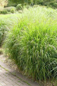 Switch grass 'Shenandoah' • Panicum virgatum 'Shenandoah' • Plants & Flowers • 99Roots.com