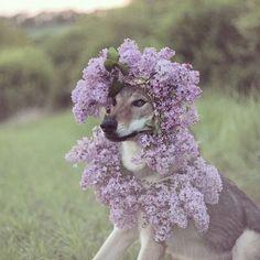princess  #altair #princess # #czechoslovakianwolfdog #wolfdog #dogofinstagram #dogflowers #dog #dogoftheday #thebest_capture  #hajkanphoto #instadog #canoncz #dogsofficialdog #cuddles Czechoslovakian Wolfdog, Cuddles, Dog Days, Princess, Instagram Posts, Dogs, Flowers, Pet Dogs, Doggies