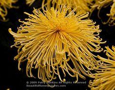 chrysanthemum_golden_splendour_spider_7157