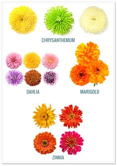 Chrysanthemums include Daisy Poms, Cushion Poms, Button Poms, Spider Poms. All are available in multiple colors year round and hold up very well.  They mean truth and love.