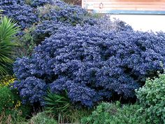 Ceanothus x impressus 'Dark Star'-This California native evergreen shrubis perhaps the most striking of all the genus boasting royal blue FRAGRANT flower clusters that smother the plant from late Winter thru early Spring.Grows to 8' high & 6' wide with teensy, dark green, glossy leaves, becoming tree-like with age. Looks particularly striking when planted adjacent to grey foliage or white flowers & is better suited to coastal gardens than inland areas. annies
