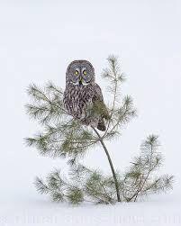Great Grey Owl by Christopher Dodds   Pinned by www.myowlbarn.com