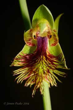 Copper-Beard-Orchid: Calochilus sp. -  Flickr - Photo Sharing!