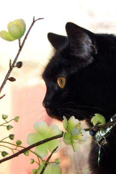 Ivy zwart poesje