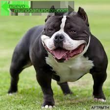 Mascotas american bully Valencia - Nuevo Mundo Anuncios
