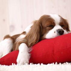 #Cavalier King Charles Spaniel #Dog. #Cavie