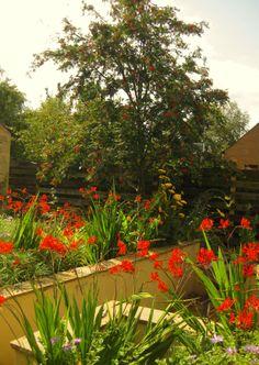 Crocosmia Lucifer in a garden near Edinburgh featuring a sunken area - Goose Green Design.