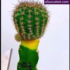 Cactus Grafting And Clean Up Rotten Parts. Grab your rare succulent houseplants online. Worldwide Shipping. Use Discount code: E10PER We bring joy to your home gardening experience. eSucculent.com Buy Succulents Online, Succulents For Sale, Rare Succulents, Succulents In Containers, Planting Succulents, Planting Flowers, Succulent Wall, Succulent Arrangements, Succulent Terrarium