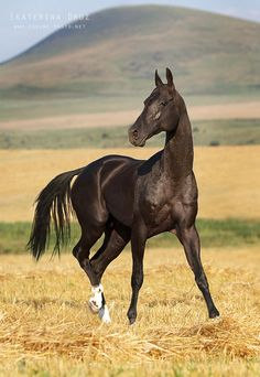 Akhal-Teke horse with it's ancient, exotic look. They are the secret treasure of Turkmenistan!