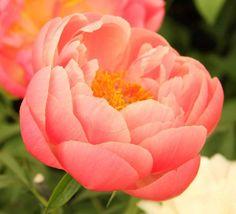 Coral Charm - Orange Semi-double Peony/ Paeonia - Kelways