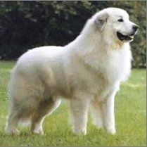 "The Akbash Dog (from Turkish: Akbaş, literally ""white head"") is ..."