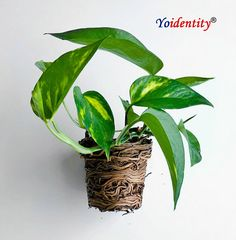 Pothosplants are arguably one of the easiest plants to grow and actually thrive on low light and neglect. These plants serve to purify the air of formaldehyde, benzene and carbon monoxide while also helping eliminate odors.Pothoscan also help alleviate eye irritation after long days of staring at screens. Buy Indoor Plants, Outdoor Plants, Potted Plants, Online Plant Nursery, Natural Air Purifier, Buy Plants Online, Easy Plants To Grow, Pothos Plant, Money Plant