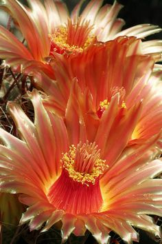 346  Cactus Blossoms By Judy Whitton