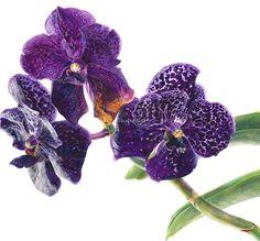 Botanical watercolor Vanda Orchid -high res http://www.illustrationweb.com/BigImage/3000/86230/fi_137-86230.jpg/vanda-orchid.jpg