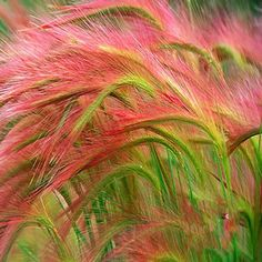 Pink Foxtail Barley Ornamental Grass Seeds 2019 hordeum-jubatum The post Pink Foxtail Barley Ornamental Grass Seeds 2019 appeared first on Flowers Decor. Patio Plants, Fall Plants, Outdoor Plants, Garden Plants, Shade Plants, Garden Types, Rare Flowers, Exotic Flowers, Flower Seeds