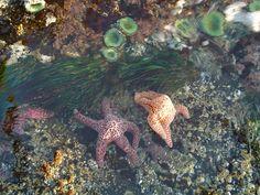 sea stars, Tofino, BC Tofino Bc, British Columbia, West Coast, This Is Us, Wanderlust, Backyard, Sea, Spaces, City
