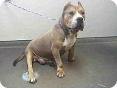 Las Vegas NV - American Pit Bull Terrier Mix. Meet MACHO a dog for adoption. #pitbull