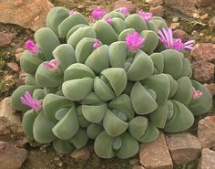 Gibbaeum dispar Like my old lithops - I wonder if M still have them?