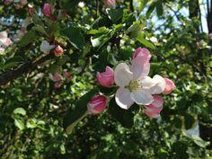 Apfelblüten im Bergischen Land bei Overath