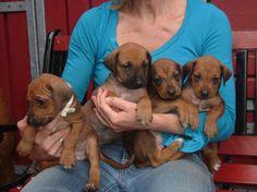 omgcute..........These are rhodisian ridgeback pups :)