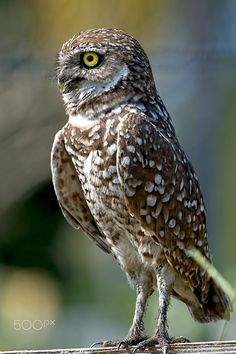 Burrowing Owl - A Burrowing Owl on the West Coast of Florida