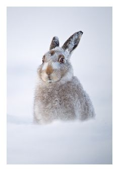 Mountain Hare in snow, Cairngorms, Scotland. By Jules Cox Photography