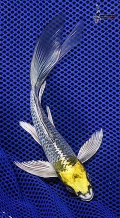Butterfly Fin Koi Rare Fish, Exotic Fish, Koi Fish Pond, Fish Ponds, Koi Betta, Butterfly Koi, Koi Art, Salt Water Fish, Pond Life