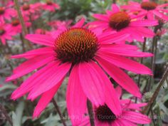 Echinacea 'Glowing Dream' (Dream Series) (coneflower)