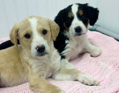 These are just 2 of 7 Springer Spaniel mix puppies that are looking for families to adopt.  Are you looking for a forever dog?  Adopt here:  http://www.aheinz57.com/adoptablepets.htm