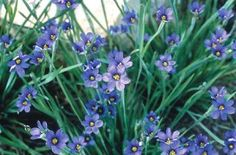 So this is what it is! Inherited it on the southside of the house. Now I know. Sisyrinchium angustifolium 'Lucerne' (Lucerne Blue-Eyed Grass)