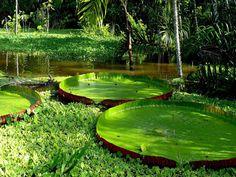 Victoria Amazonica in Amazon  http://en.wikipedia.org/wiki/Victoria_amazonica