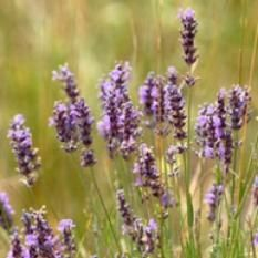 Spike Lavender to heal and rebuild broken and fragile skin #winterskin #aromahealing #essentialoils