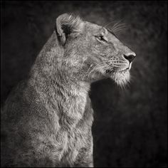 PORTRAIT OF LIONESS AGAINST ROCK, SERENGETI, 2007; Nick Brandt