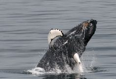 Breaching Humpback Whale ! #reykjavik #iceland #whalewatching www.specialtours.is