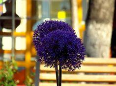 Ajándék valakinek Dandelion, Flowers, Plants, Dandelions, Plant, Taraxacum Officinale, Royal Icing Flowers, Flower, Florals